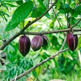 Kakao-bönor (chokladträd), Bali Royaltyfri Foto