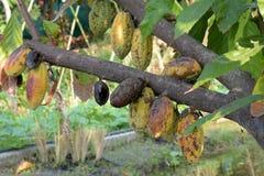 Kakao, Cacao, Czekoladowy drzewo, owoc na drzewie Fotografia Royalty Free