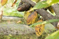 Kakao, Cacao, Czekoladowy drzewo, owoc na drzewie Obrazy Stock