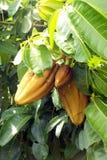 Kakao frukten, råvaran av choklad fotografering för bildbyråer