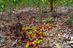 Kakao gospodarstwo rolne, żniwo czas Obrazy Royalty Free