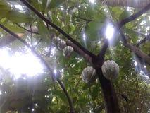 Kakao im Tageslicht lizenzfreie stockfotografie