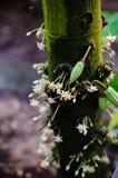 Kakao kwiaty i małe owoc Obraz Stock