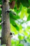 Kakao kwiaty i małe owoc Fotografia Stock