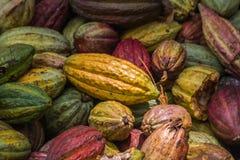 kakao många fröskidor Arkivfoton