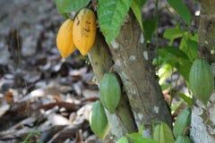 Kakao na drzewie zdjęcia royalty free