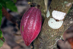 Kakao owoc Obraz Stock