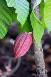 Kakao owoc Obrazy Stock