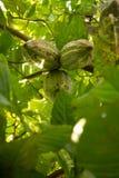 Kakao tree produces dense fruit stock image