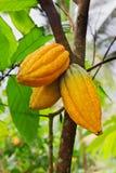 Kakaobaum mit Hülsen Stockfotos