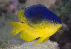 kakaodamselfish Arkivfoto
