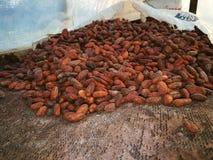 Kakaofrö i sol- tork royaltyfria bilder