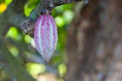 kakaofröskida Arkivbild