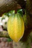Kakaofröskida Arkivfoto