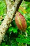 Kakaofröskida. Royaltyfri Foto