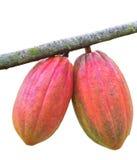 Kakaofröskida på treen Arkivbild