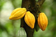 kakaofröskidor arkivfoto