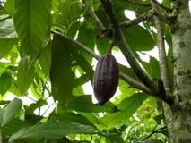 Kakaofrucht Stockfotografie