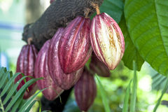 Kakaofrucht Lizenzfreie Stockfotos