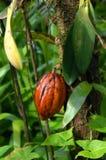 kakaofrukt Arkivfoton