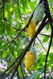 Kakaofrukt i Bali Arkivfoton
