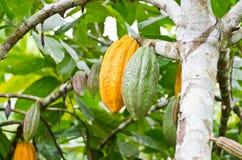 Kakaofrukt i treen Royaltyfri Foto