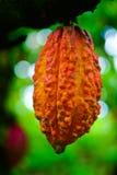 Kakaofrukt i treen. Kakaofröskidor i tree, Royaltyfri Foto