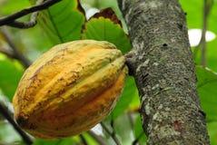 Kakaohülse Stockbilder