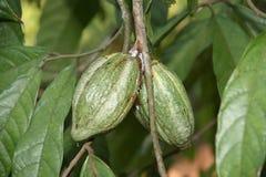 Kakaohülsen auf Baum Stockfotografie
