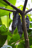 Kakaotree med frukt Arkivfoto