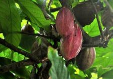 Kakaowa owoc dojrzewa na drzewach kakao gospodarstwo rolne w republice dominikańskiej Obrazy Stock