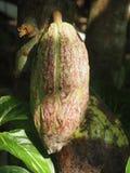Kakaowa owoc na wyspie Bali, Indonezja obraz stock