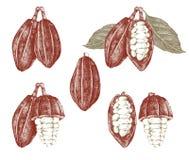 Kakaowe fasole i gałąź ilustracji