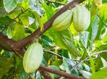 Kakaowe owoc wiesza na gałąź Theobroma cacao drzewo zdjęcie royalty free
