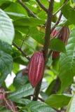 kakaowy drzewo zdjęcia stock