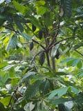 Kakaowy drzewo i swój zieleni strąki w Bali, Indonezja obraz royalty free