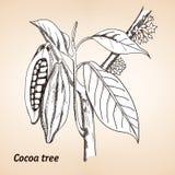 Kakaowy drzewo lub Theobroma cacao Ilustracji