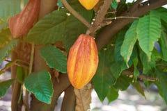 Kakaowy owoc gospodarstwo rolne obraz royalty free