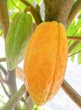 Kakaowy str?k i drzewo odosobniony na tle zdjęcie royalty free