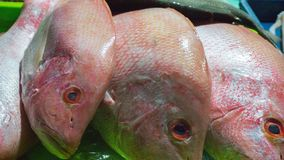 Kakap merah or red snapper head closeup in fish market in karimun jawa indonesia royalty free stock image