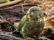 Kakapo. Is a New Zealand native bird. It has finely blotched yellow-green plumage Royalty Free Stock Photography