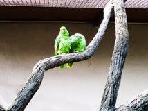 Kakapo variopinto del pappagallo su un ramo fotografie stock libere da diritti
