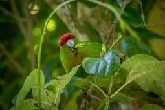 Kakariki与叶子的绿色长尾小鹦鹉在嘴 库存照片