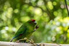 Kakariki拿着食物的绿色长尾小鹦鹉 库存照片