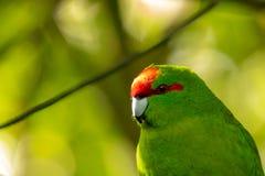Kakariki,新西兰红色被加冠的绿色长尾小鹦鹉,森林背景 免版税图库摄影