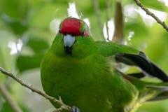 Kakariki,新西兰红色被加冠的绿色长尾小鹦鹉 图库摄影