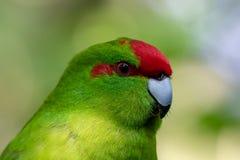Kakariki,新西兰红色被加冠的绿色长尾小鹦鹉 库存图片