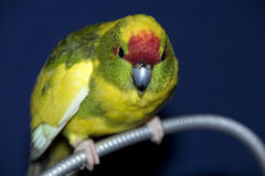 Kakariki. A close up af a kakariki, a kind of parrot or parakeet from New Zealand Royalty Free Stock Photos
