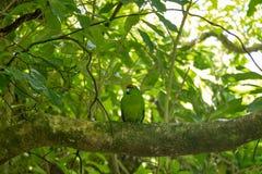 Kakariki Green Parakeet On Branch. The three species of Kakariki or New Zealand parakeets are the most common species of parakeets in the genus Cyanoramphus Royalty Free Stock Photos