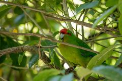 Kakariki Green Parakeet In Branches. The three species of Kakariki or New Zealand parakeets are the most common species of parakeets in the genus Cyanoramphus Stock Photo